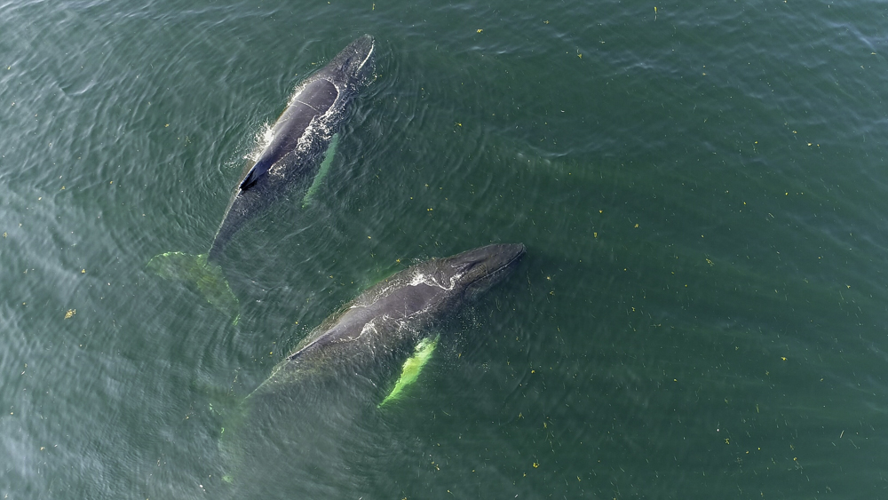 Aerial photographs of humpback whales