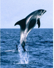 Atlantic white-beaked dolphin