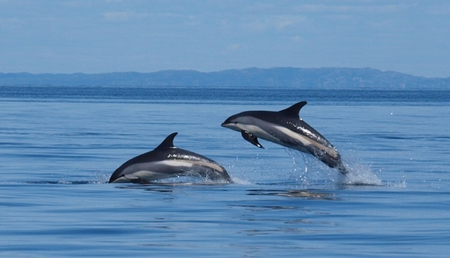 Atlantic white-sided dolphins jumping off the coast of anticosti