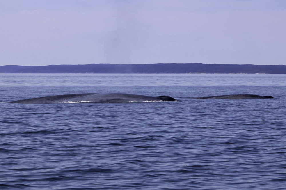 Blue whale calf Gulf of St Lawrence 03