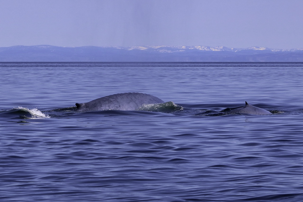 Blue whale calf Gulf of St Lawrence 2