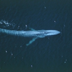 Aerial view of a blue whale just beneath the surface