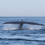 Blue whale fluking up before a deep dive