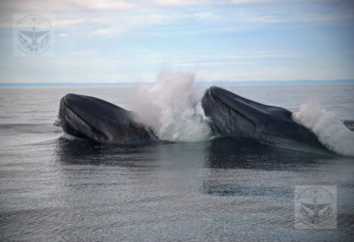 Blue whales showing mating rituals known as 'rumba'