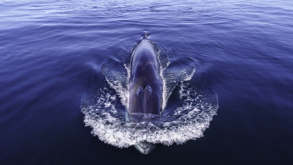 Fin whale drone pic - TerreSky/MICS