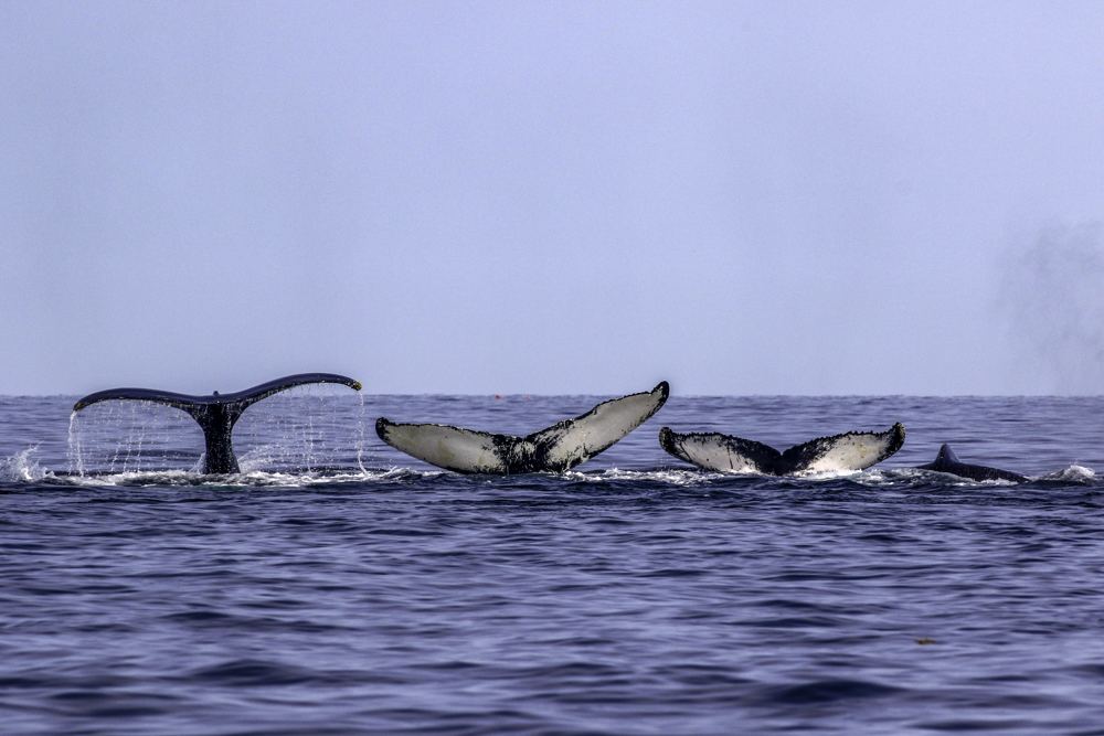 Group of humpback whales diving simultaneously