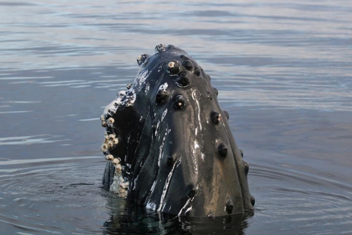 Surface behaviour executed by humpback - 'Spyhoping'