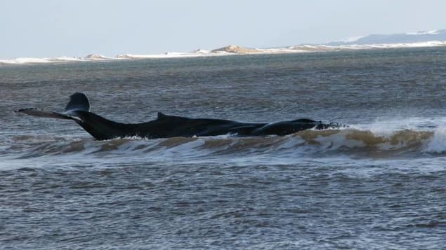 Stranded humpback whale
