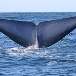 Photo-ID of a blue whale's fluke