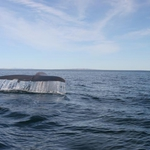 Blue whale fluking up in the Sea of Cortez