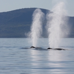 Whales blowing water